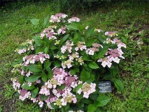 CM-No-10-Hydrangea-macrophylla-'Mariesii-Perfecta'