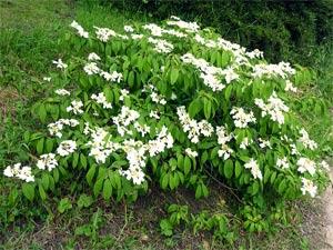 No-14-Viburnum-plicatum-'Mariesii'-2016