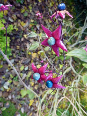No-15-Clerodendrum-trichotomum