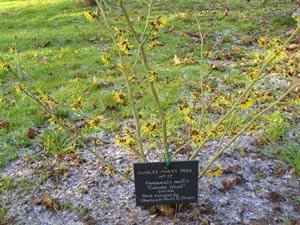 No-17-Hamamelis-mollis-'Coombe-Wood'