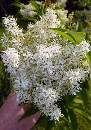 No-8-Fraxinus-mariessii-Flower-2016